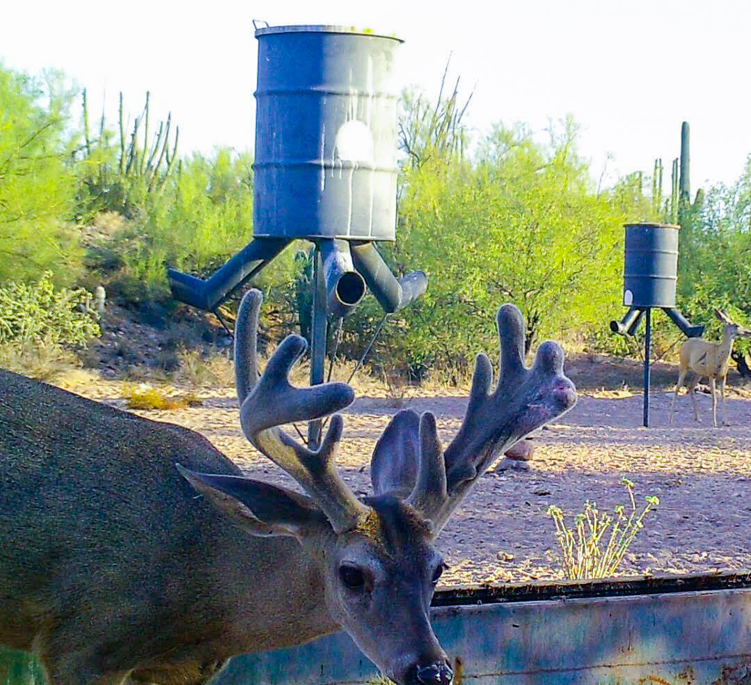 coues deer hunting sonora mexico