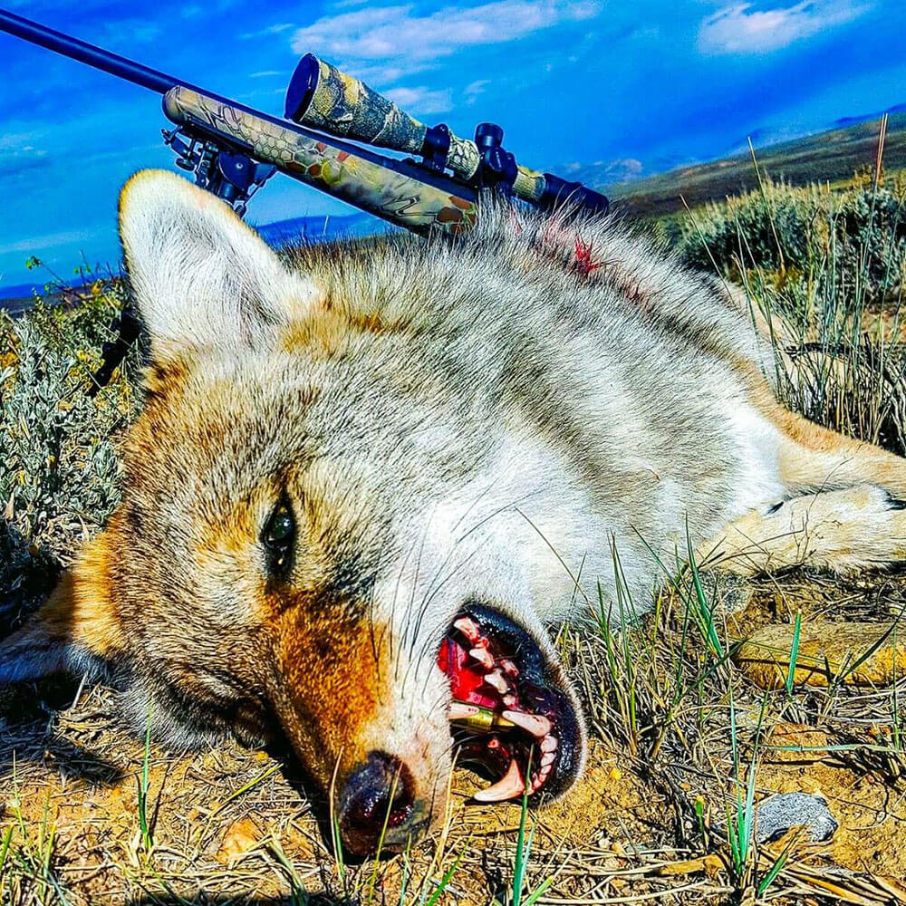 guided coyote hunts near me