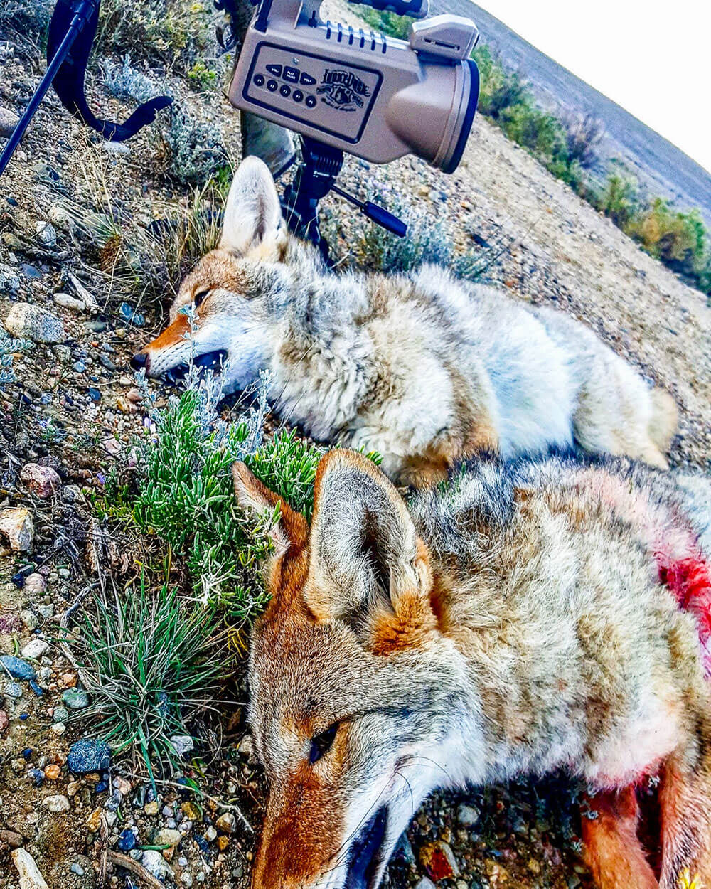 mountain lion hunting new mexico